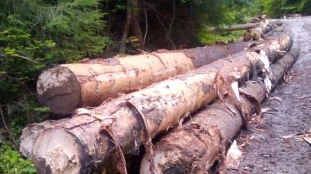 Mafia lemnului din Suceava face ravagii