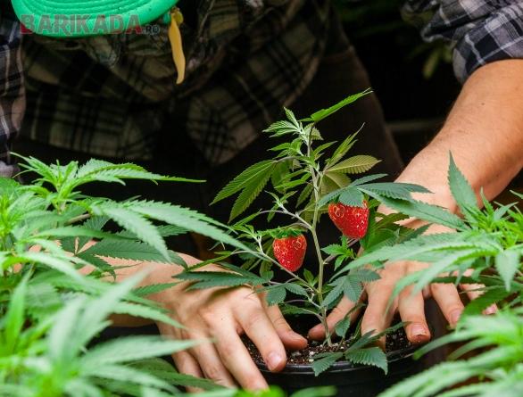 Un buzoian a altoit marijuana pe butași de căpșuni