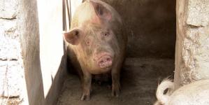 Viitoarea lege a porcului: Combinezon de Covid în coteț