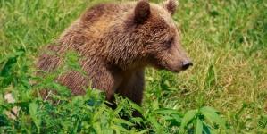 Invazia urșilor: autorități complet depășite
