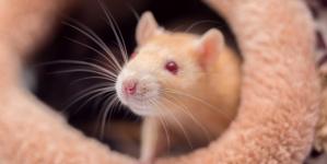 """Noul """"bucureștean"""" , șobolanul de Sector 2"""