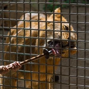 Mafia animalelor: traficanți de lei, pe Facebook